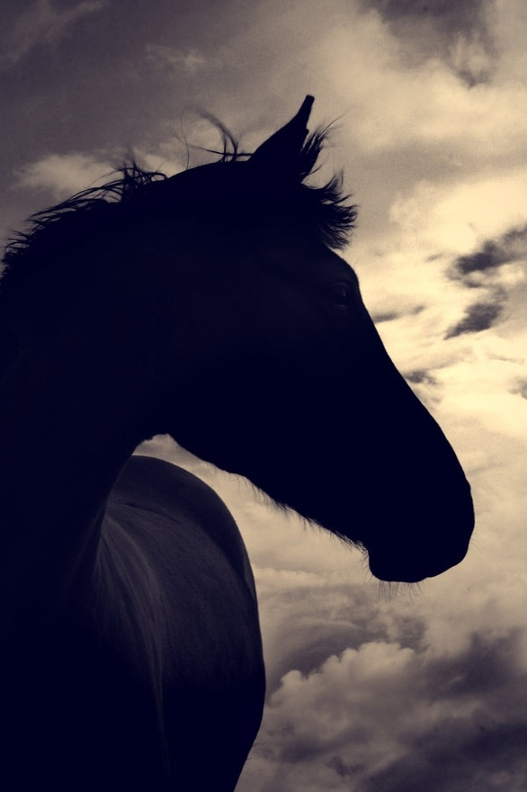 silhouette: Beautiful Horses, Horses Silhouette, Daily Inspiration, Hors Silhouette, Hors 3, Black Beautiful, Hors Photography, Black Hors, Animal