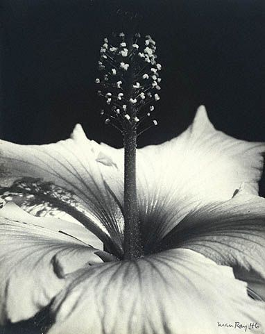 Hibiscus by Man Ray