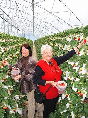 Picking Strawberries at Ricardoes Tomatoes & Strawberries (Port Macquarie)