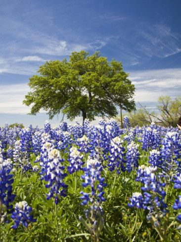 Texas Bluebonnets and Oak Tree, Texas