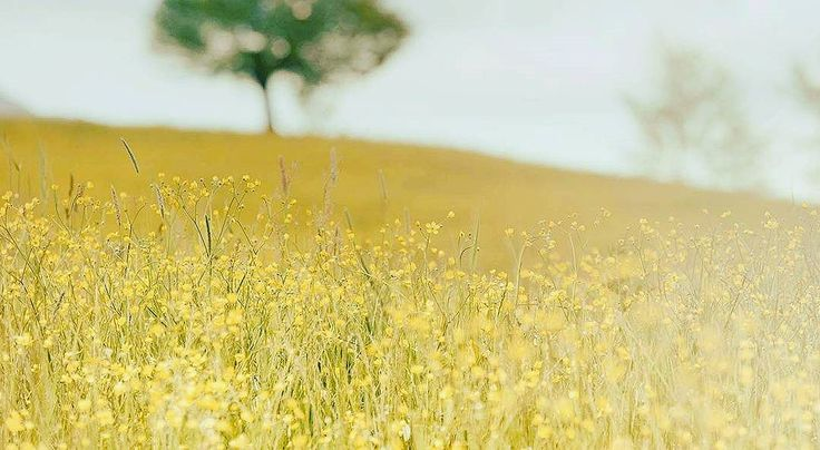 Beautiful... Golden fields of Punjab.  Reminds me of scenes from many movies.  #asklocal #punjab
