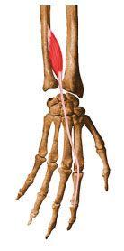 SW Sportmassage © - Anatomie - M. Extensor indicis
