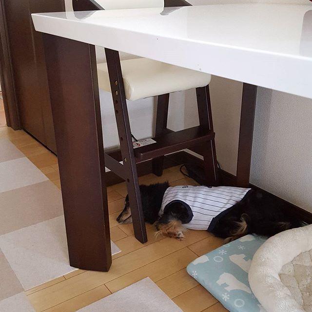 るんちゃんが6才でヘルニア手術してから長年タイルカーペットを愛用。 フローリングは愛犬の腰に負担がかかるそうな。 LDKほぼタイルカーペットを敷き詰めてるんだけど、今日は希少なフローリング部分で寝てます。  #愛犬 #ミニチュアダックス #シニア犬 #15才5ヵ月 #ヘルニア克服犬 #いぬのいる暮らし