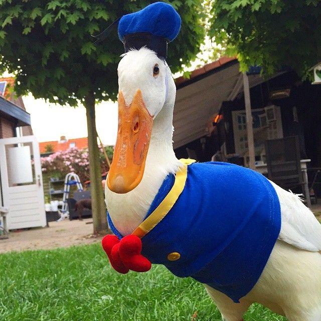 Guus the duck as Donald Duck