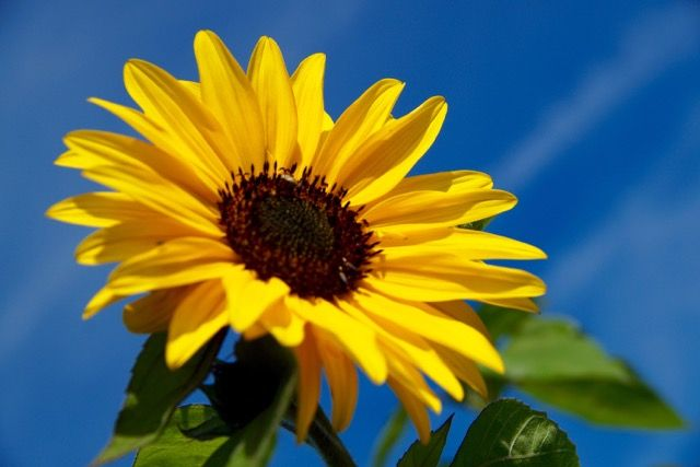 Fotografie zonnebloem in de pluktuin Het Platteland in Putten.