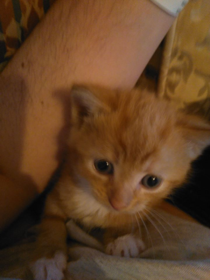 Female Ginger Kitten For Sale Chesterfield Derbyshire Pets4homes Gingerkitten Female Ginger Kitten For Sale Chesterfield Derbyshire Pets4ho Rote Katze