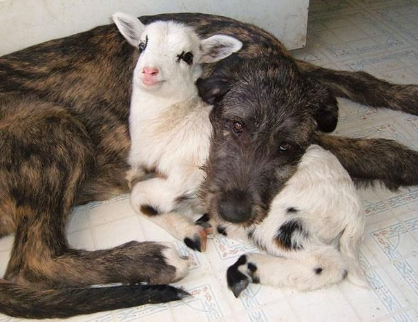 The grin on the goat's face just about did me in...the sweetness is too much! :-)