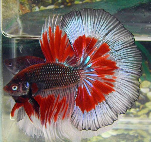 Pin by Denise Aracich on Japanese Fighting Fish   Pinterest