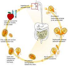 Giardia lamblia - A flagellated protozoan parasite that can colonize in the small intestine and cause 'giardiasis' (diarhea/GI sx)