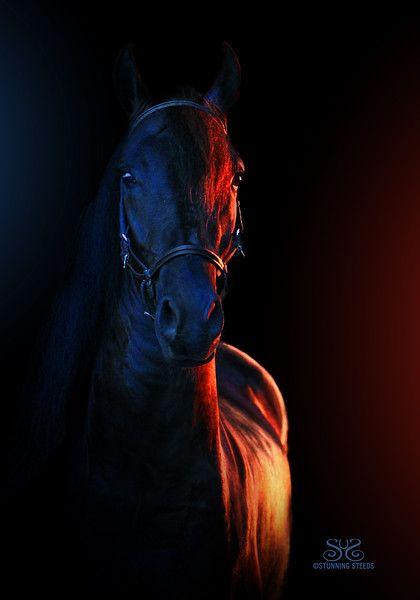 Black Paso Fino Stallion by Stunning Steeds
