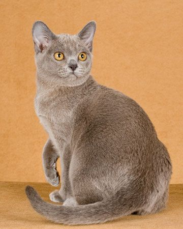 European Burmese - The European Burmese is an elegant, unique cat breed of far eastern origin, moderate type with gently rounded contours.  This breed comes in colors such as cream, red, chocolate, and tortoiseshell.