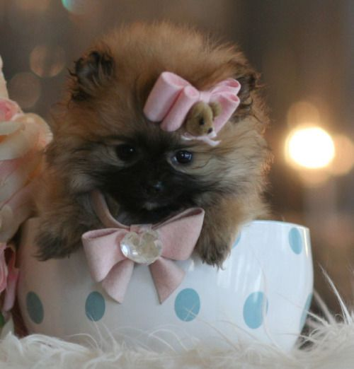 Pomeranian puppies for sale teacup puppies store www.TeacupPuppiesStore.com…