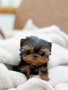 micro teacup yorkie - THIS CANNOT POSSIBLY BE REAL!!<3