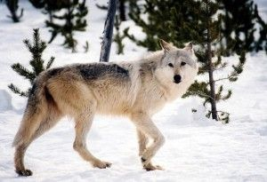 Norway has delivered over 11,000 hunting licenses for just 16 wolves to be shot and killed, despite total wolf numbers in the country being fewer than 30. Demand the government revoke hunting licenses and protect this severely endangered species.