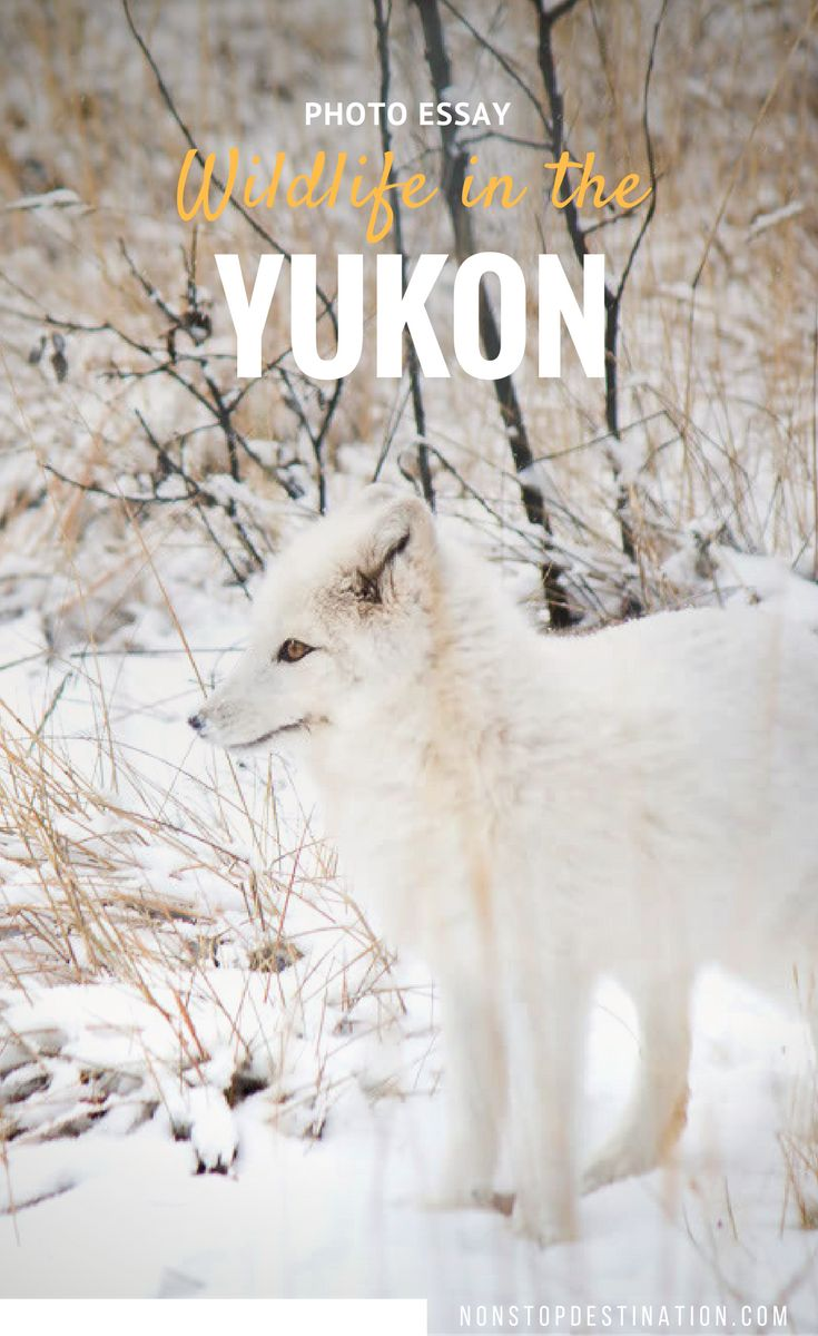17 best images about wildlife encounters photo essay meet the animals from the yukon wildlife preserve non stop