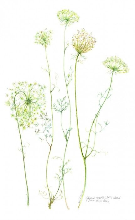 botanical drawings of queen anne's lace - Google Search