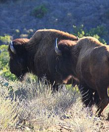 Santa Catalina Island, California - I didn't get to see a buffalo when I went, but there is still time