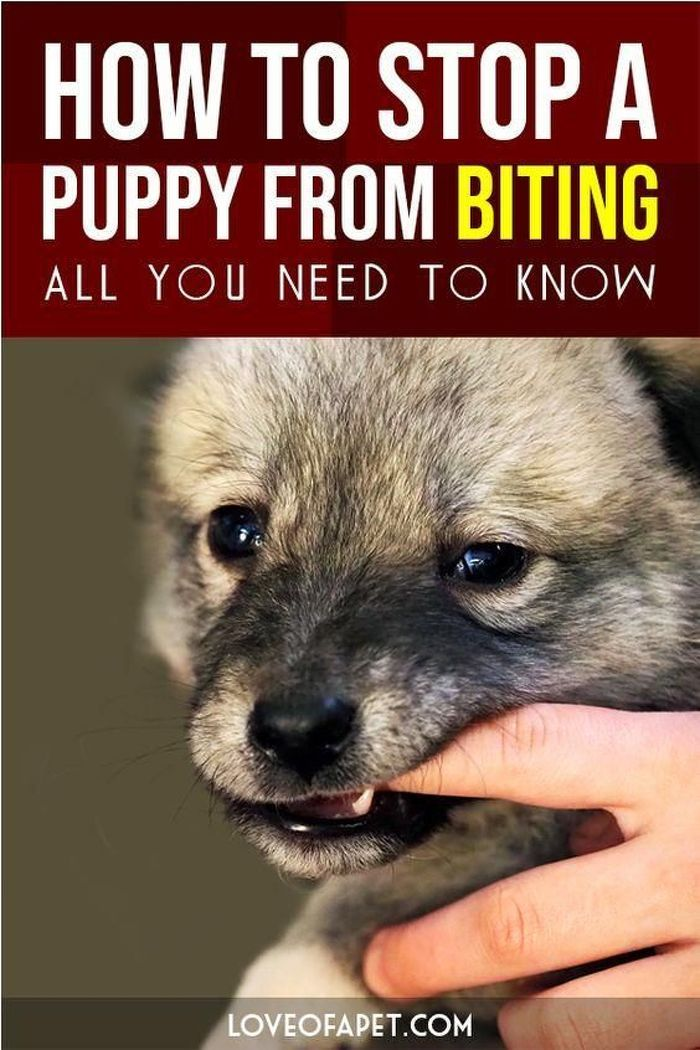 Biting Is Regular Young Puppy Habits But You Can Train It Away