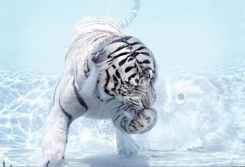 Awwww: White Tigers, Big Cat, Bengal Tigers, Snow Tiger, Siberian Tigers, Baby Animal, Life Photography, Tigers Cubs, Bath Time