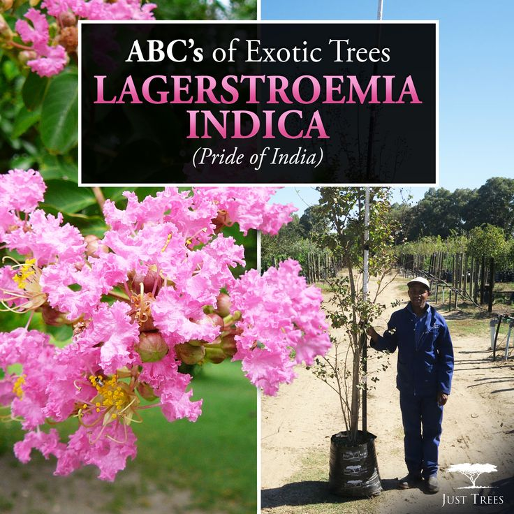 Today's ABC'S of Exotic Trees focuses on the Lagerstroemia Indica or the Pride of India. It is an upright tree or large shrub. White, pink, red or purple flowers appear from Summer to Autumn. It thrives in fertile, well-drained soil and would grow well against a warm, sunny wall. It grows moderately to +-3.5m tall and 2m wide in the first 10 years. It grows throughout South Africa but thrives in warmer regions of the country. We currently have stock of the 40L and 100L. Check out our website…