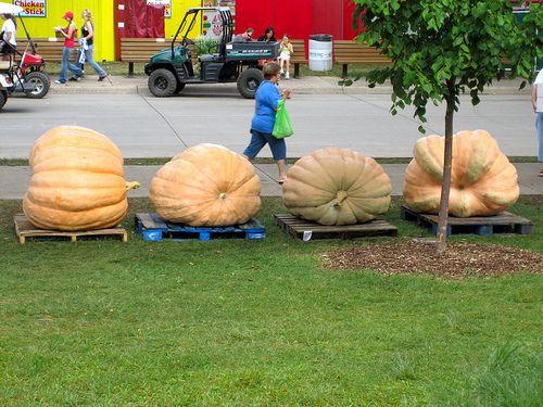 Iowa State Fair  Giant Gourds  Pumkins