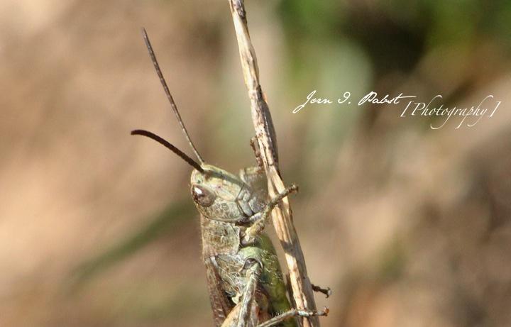 gras hopper
