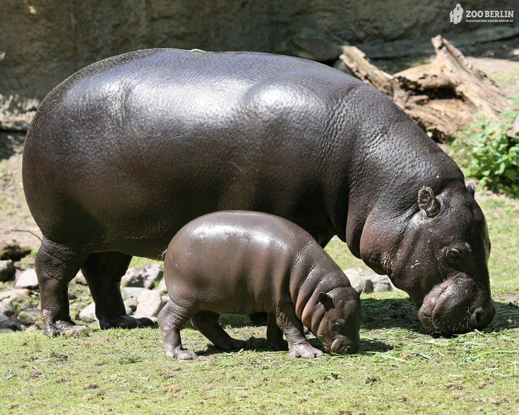 Oh, I want a hippopotamus for Christmas!