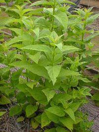 Xuan shen - Le xuan shen ou scrophulaire noueuse fait partie des plantes médicinales chinoises, il est connu en Asie pour sa capacité à traiter les écrouelles (infection tuberculeuse attaquant les ganglions lymphatiques). Le xuan shen (scrophularia ningpoensis) calme les délires et surtout apaise les pati... http://www.complements-alimentaires.co/wp-content/uploads/2016/02/Xuan-Shen_Scrophularia-ningpoensis.jpg - Par Nathalie sur Compléments alimentaires  #Plantesmédic