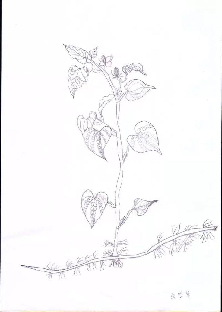 Sketch_Houttuynia cordata_01
