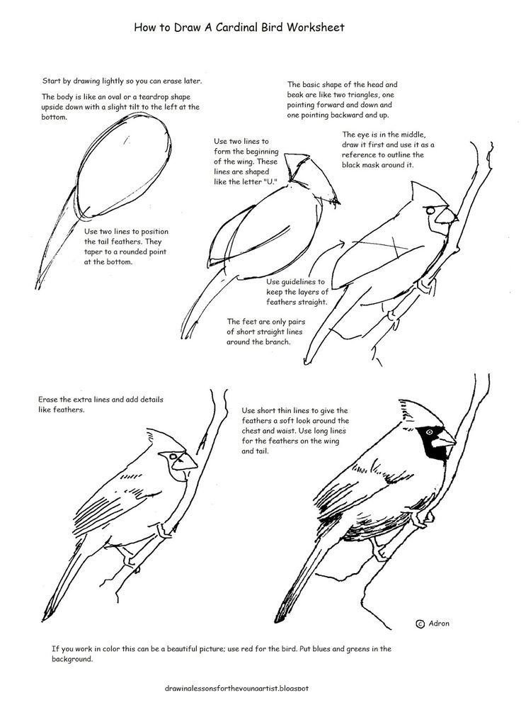 A free how to draw worksheet for drawing a cardinal.