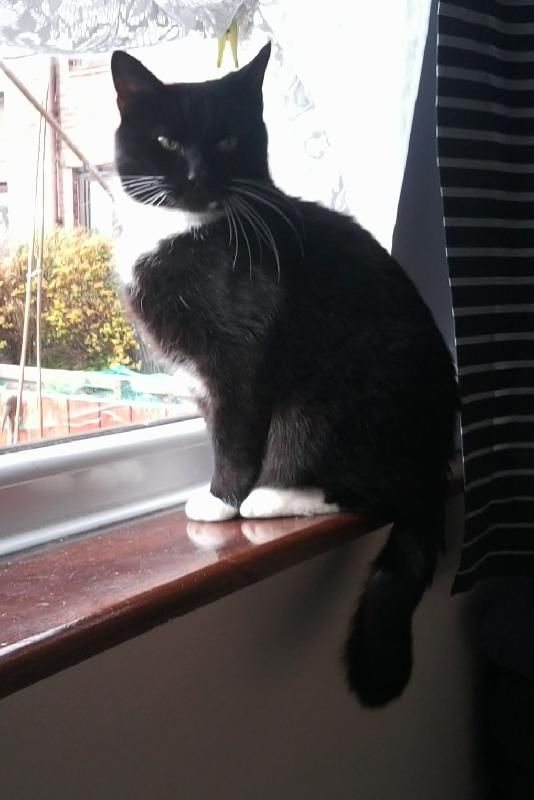 Lost on 13/04/2014 @ bs37 4dw. Silvester our cat was in the flat on lock down to get used to his new home but slipped out into the garden into a shrub, he did not leave the garden straight away and we tried to tempt him back int... Visit: https://whiteboomerang.com/?show=1o04r0o (Posted by colin on 21/04/2014)