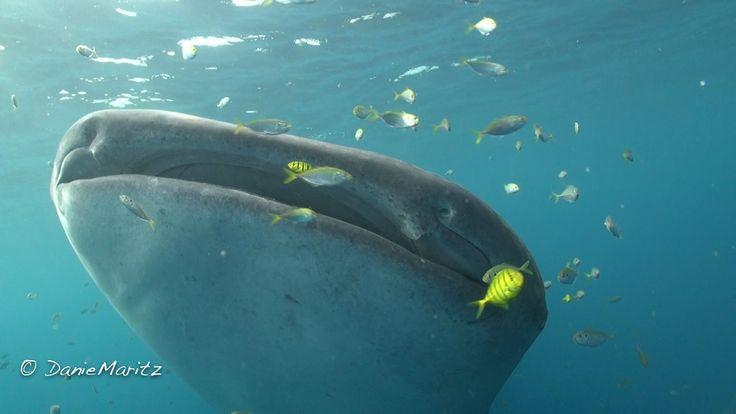 Cenderawasih Bay, Whale-sharks at the bagans of Kwatisore