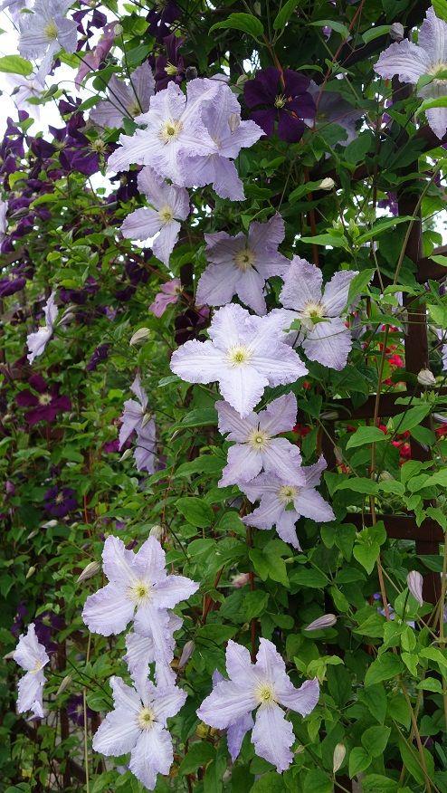clematis Blekitny Aniol (Blue Angel), Etoile Violette, Monte Cassino