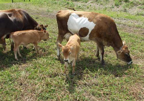 Raise Small-breed Milk Cows | Cattle, The o'jays and Dairy ... | 500 x 350 jpeg 48kB