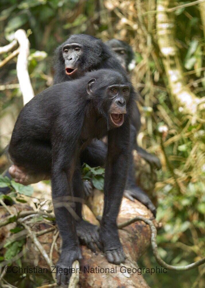 Hooting bonobos.