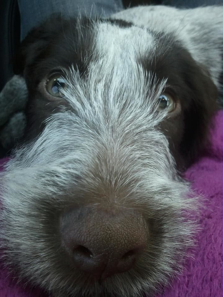 32 best German Wirehaired Pointer - Boykin Spaniel - Dogs images on ...