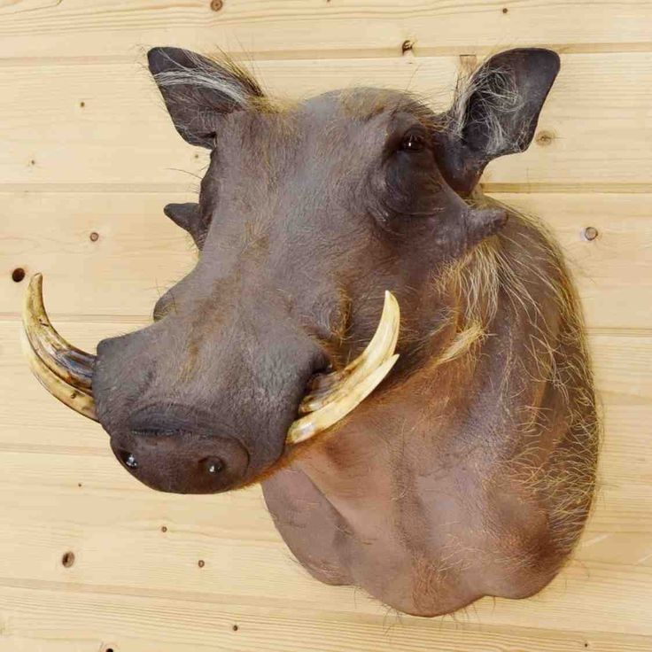 Hunting Trophies for Sale - Warthog Head Taxidermy Mount for sale SW9063. Safariworks Taxidermy Sales has a large collection of zebras, antelopes, and giraffes for sale.