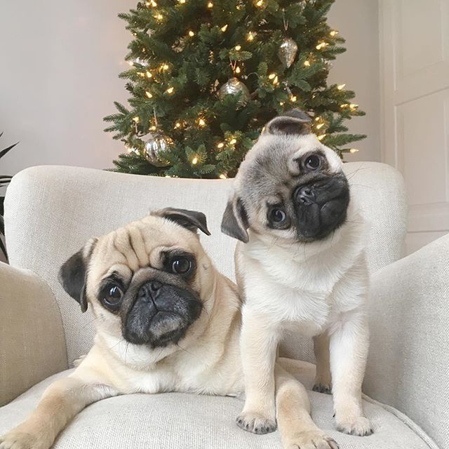 Waiting For The Big Guy To Come Down Da Chimney Pug Pugs Cute
