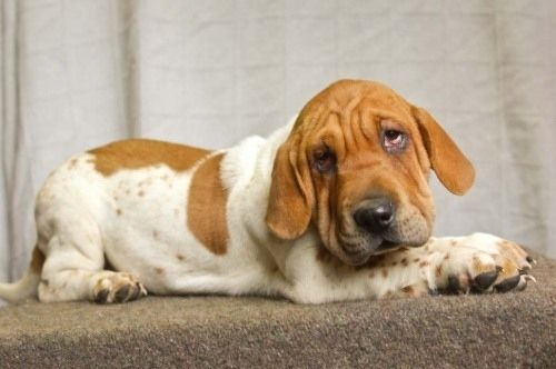 A basset hound/Shar-Pei mix!  It looks so adorably ridiculous I just want to hug it!