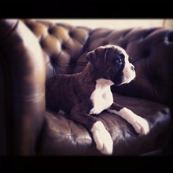 boxer puppy | H U M A N™ | нυмanACOUSTICS™ | н2TV™
