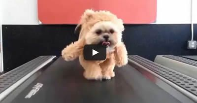 "cool Have you ever seen a dog dressed as a bear on a treadmill? Just ""Bear"" with us on this one... Munchkin dressed as a Teddy Bear gets her exercise on a treadmill but she is a Shih Tzu or, Munchkin the Shih Tzu. http://www.sapromo.com/have-you-ever-seen-a-dog-dressed-as-a-bear-on-a-treadmill/5781"