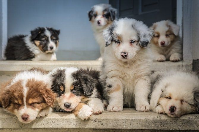 10 Easy Cocktail Recipes You Can Make At Home For Your Next Virtual Happy Hour In 2020 Shepherd Puppies Australian Shepherd Puppies Dog Pictures