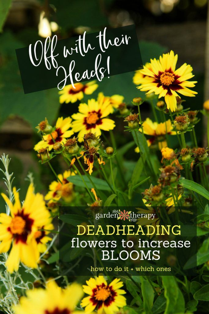 More Flowers Please Deadheading Flowers To Increase Blooming Garden Therapy Deadheading Flowers Flowers Perennials Dead Head