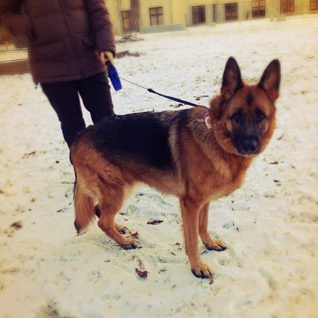 heididahlsveen:  Roxy #germanshepherd #byhund