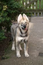 Cute Northern Inuit Dog puppy