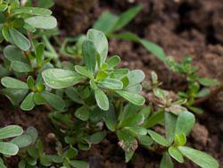 Le pourpier plante grasse très ancienne Le pourpier, est une plante riche en vitamines A, B, C mais aussi en oligo-élément, fer, calcium, iode et phosphore. Ses propriétés diurétiques, astringentes, sont complétées par une teneur remarquable en oméga-3.