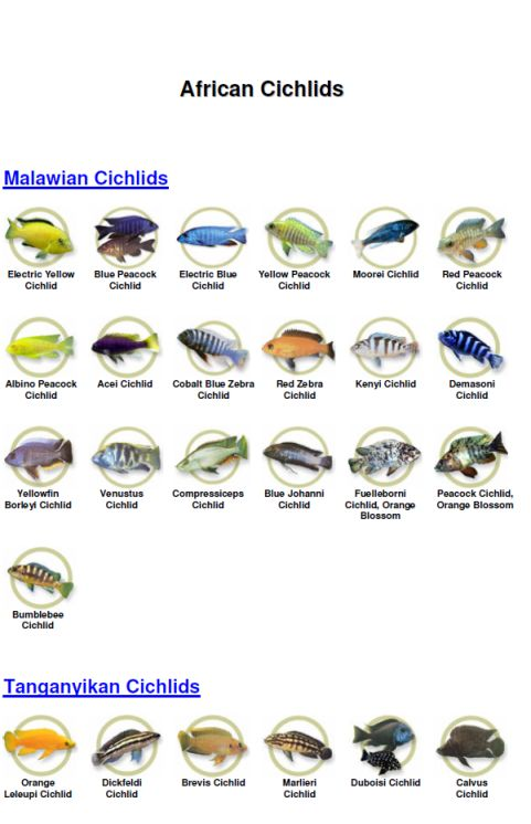 how to tell if electric yellow cichlid is pregnant