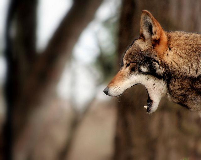 red wolf by fridayschild68, via Flickr