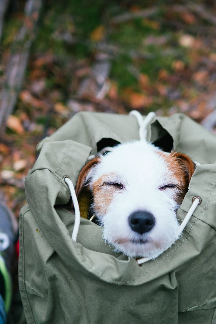 Hiking with dog. Outdoor adventure dog sleeping in a backpack. Dog photography.