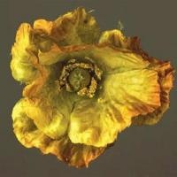 'Gold' from the 'Faux' series by NZ photographer Boyd Webb (Born 1947). Faux is a comment on biotechnology and GM crops. The huge prints depict fabric flowers whose vivid colours are at first-glance akin to the vibrance of a real flower, this combined with an absence of reference point for scale creates an unsettling tableau, prompting the viewer to consider the frankenstein nature of GM crops. Boyd adds a touch of irony, using 'straight' techniques with no digital manipulation.